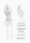 Loligo Vulgaris by Ari Lisitza '18