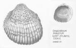 Dinocardium robustum by Alice Liu '19