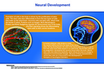 07: Neural Development