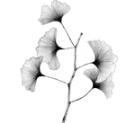 Ginkgo biloba by Vaishnavi Vanamala '19